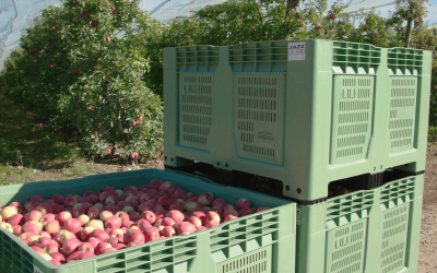 MAXIMUS – THE PERFECT CONTAINER FOR TRANSPORTATION OF APPLES